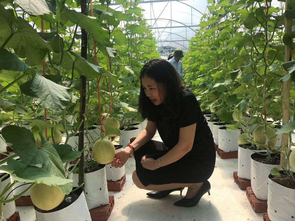 Model of planting cantaloup in a greenhouse in Nam Huong Commune, Thach Ha District